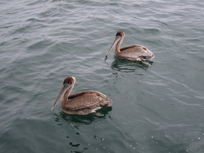 Brown Pelicans on the scrounge