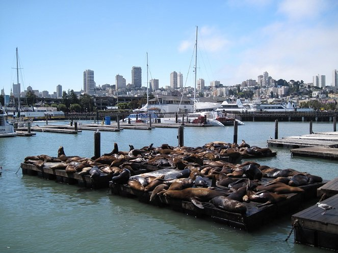 Californian Sealions, Pier 39, San Francisco