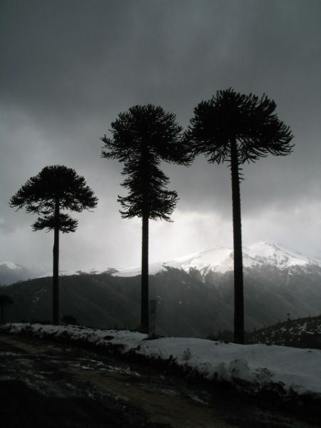 araucaria trees in Southern Chile