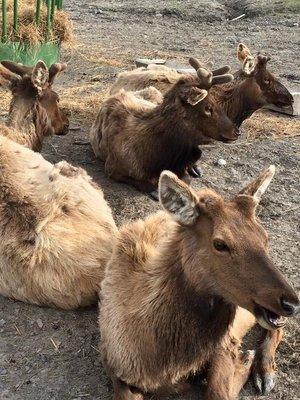Elk at Alaska Wildlife Conservation Centre