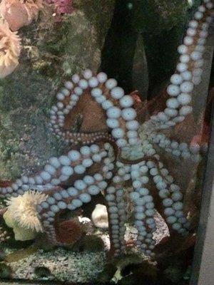 Octopus, Vancouver Aquarium
