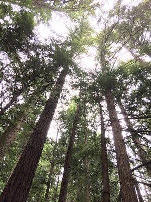 Tall Trees, Lynn Canyon