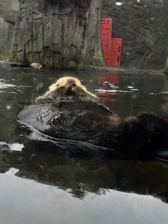 Otter, Vancouver Aquarium