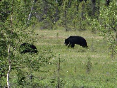 Black_Bears.jpg