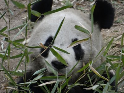 Hiding_in_the_bamboo.jpg