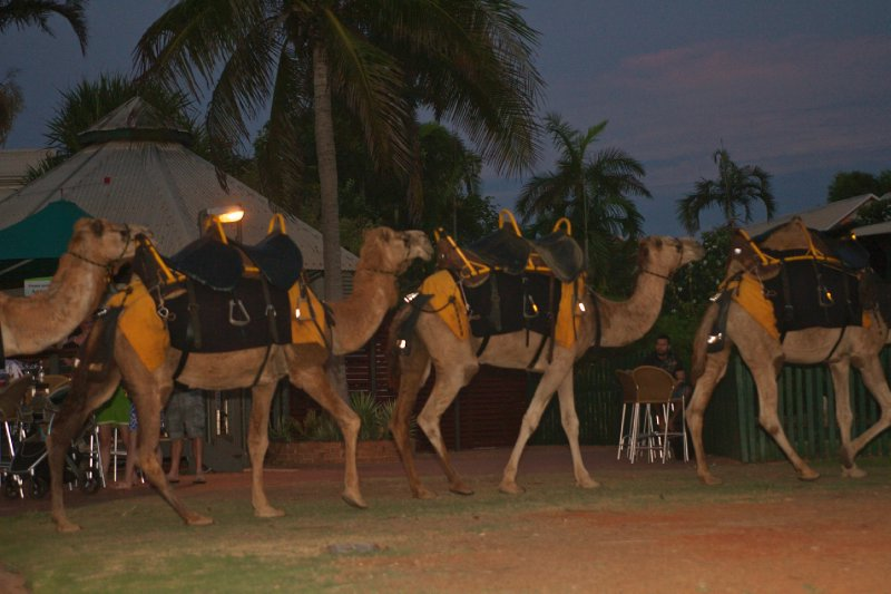 Camels Cable Beach Broome