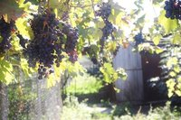 Grape Season in Georgia