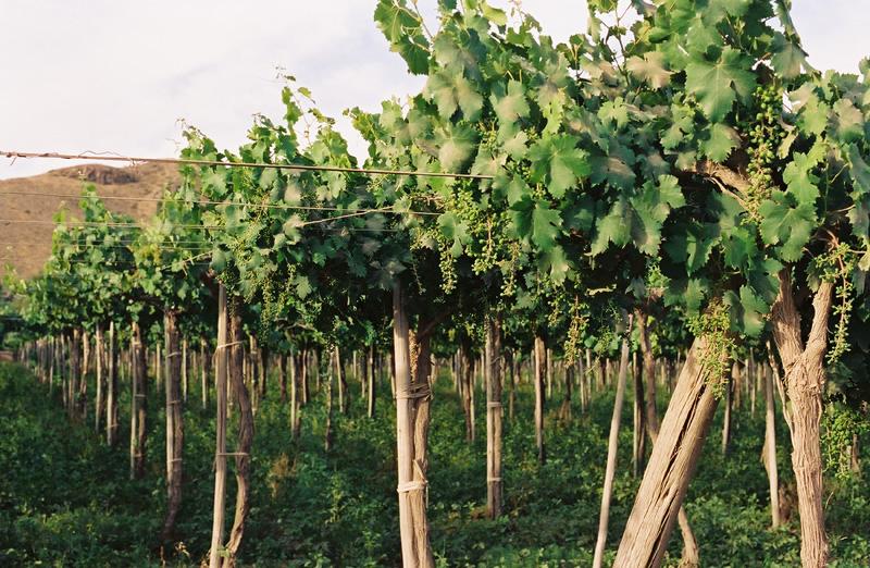 uvas-vicuna