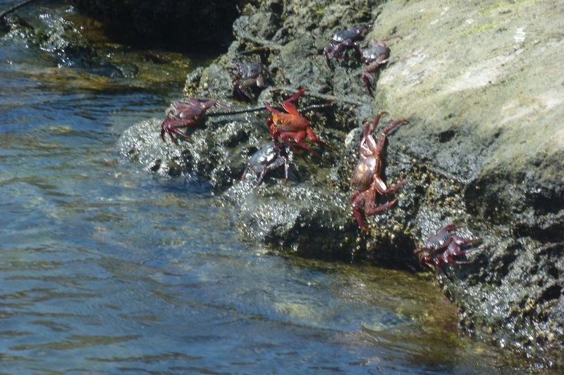 Sally Light-foot crab (the red one)