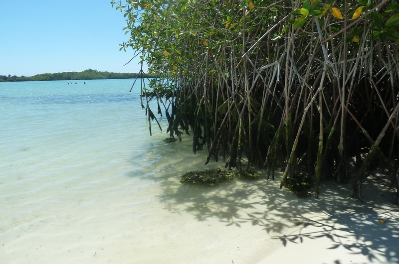 Mangrove at Tortuga Bay