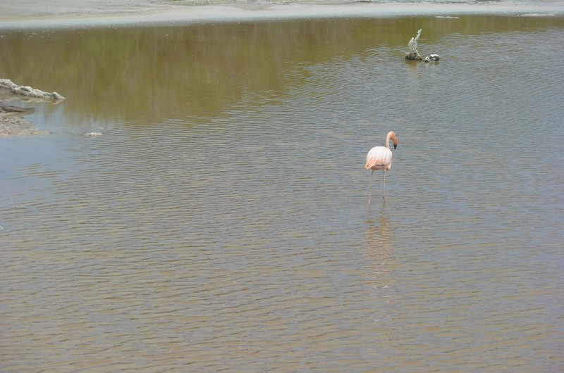 One of the many flamingos at the lagoon