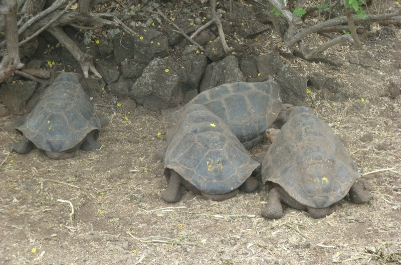 GIANT TORTOISES AT CHARLES DARWIN RESEARCH CENTRE