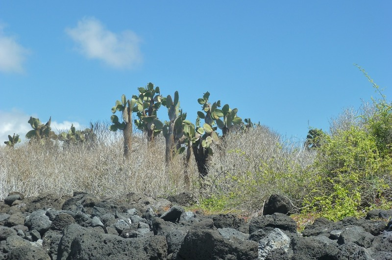 Cacti at Tortuga Bay
