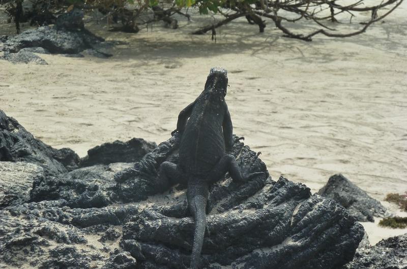 Mr. Marine Iguana overlooking
