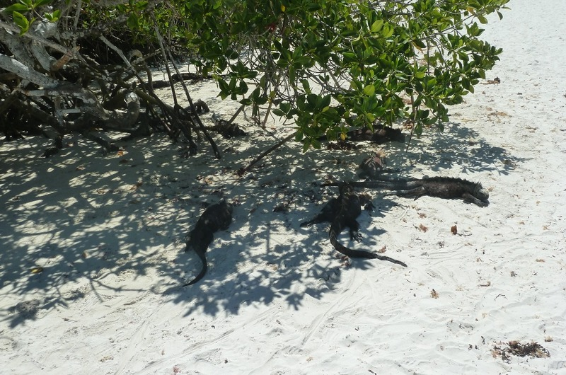 A group of marine iguanas amongst the vegetation