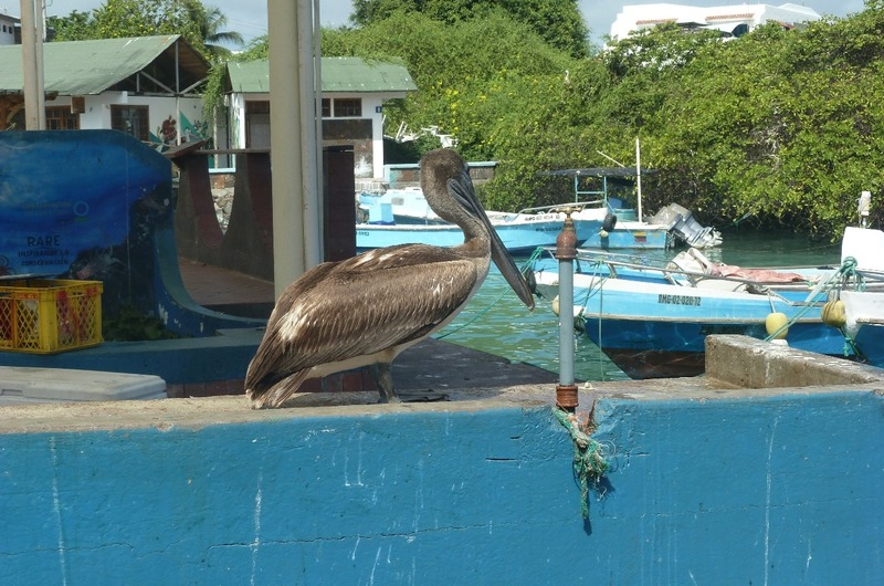 Pelican at the fish market