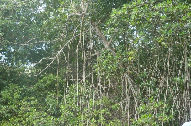 Better picture of mangrove root system