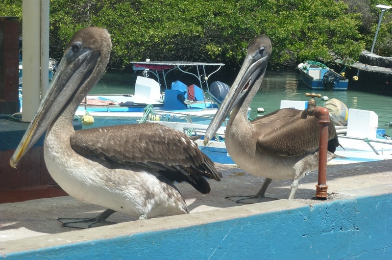 PELICANS WAITING FOR THEIR FISH FEAST
