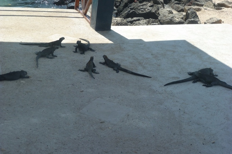 Lots of Baby Marine Iguanas