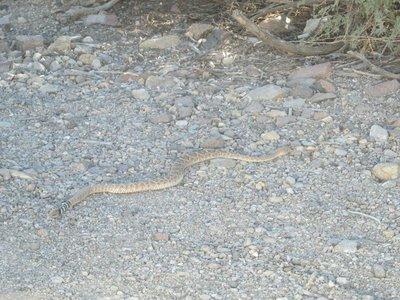Rattlesnake in Oatman