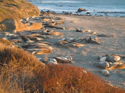 Seaelefanten im San Simeon State Park