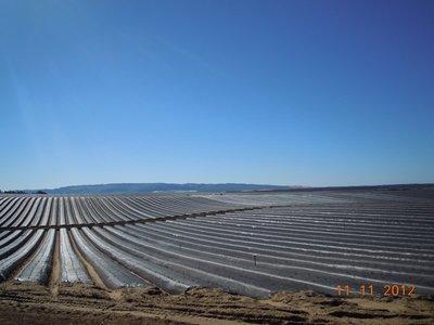 Erdbeerfelder in Ventura County