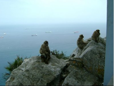 Gibraltar_Monkeys.jpg