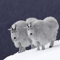 Mountain Goats, Rocky Mountains