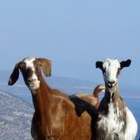 happy-goats