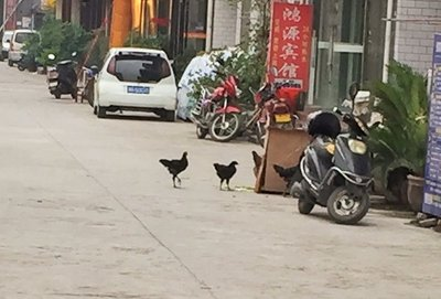 Chickens out for a Pre Dinner Stroll, Zhangjiajie, China