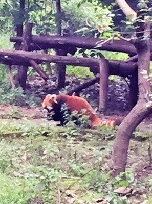 red_panda.jpg