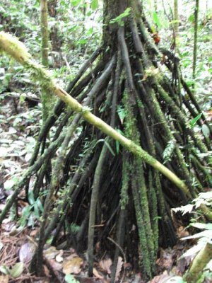 Stilt Roots which are found in palms and used to build rustic lodges or parquet floors