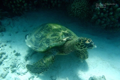 Turtle Lady Musgrave Isl