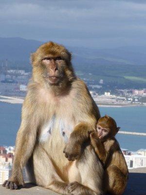 Gibraltar: Barbary apes