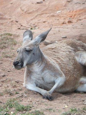 Dozing Kangaroo