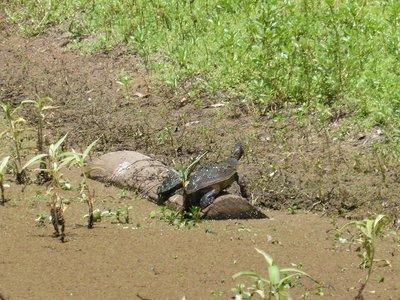 Thomasina Turtle