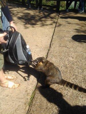 hungry coatie
