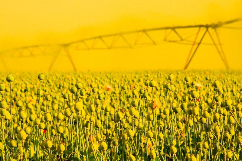 yellow opium