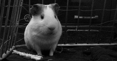 Guinea Pig.....