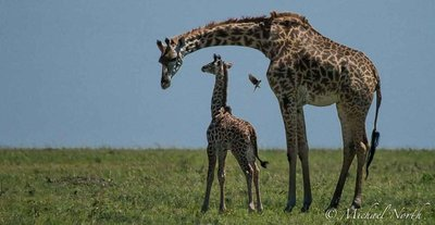 Giraffe Images - Tallest Land Mammal