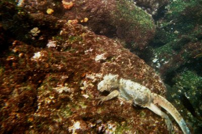 Marine iguana feeding underwater