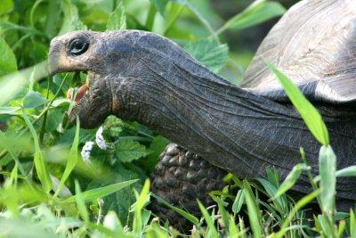 Giant tortoise feeding