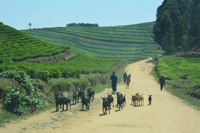 Thee in Rwanda