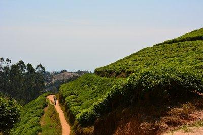 Theeplantage in Rwanda, op weg naar Gisenyi