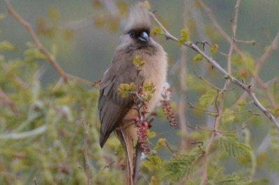 Ethiopie--Muisvogel