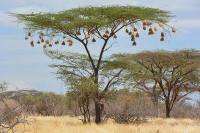 Kenia--nesten van weavers