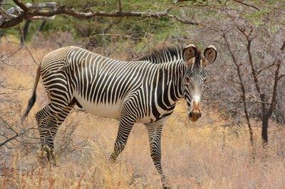 Noord Kenia--kleine zebra met ronde oren