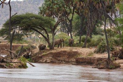Noord Kenia--weer veel olifanten