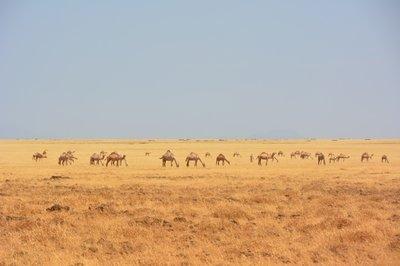 Noord Kenia--kuddde drommedarissen