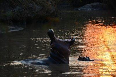 _23_Tanzania-Hippo_gaapt.jpg